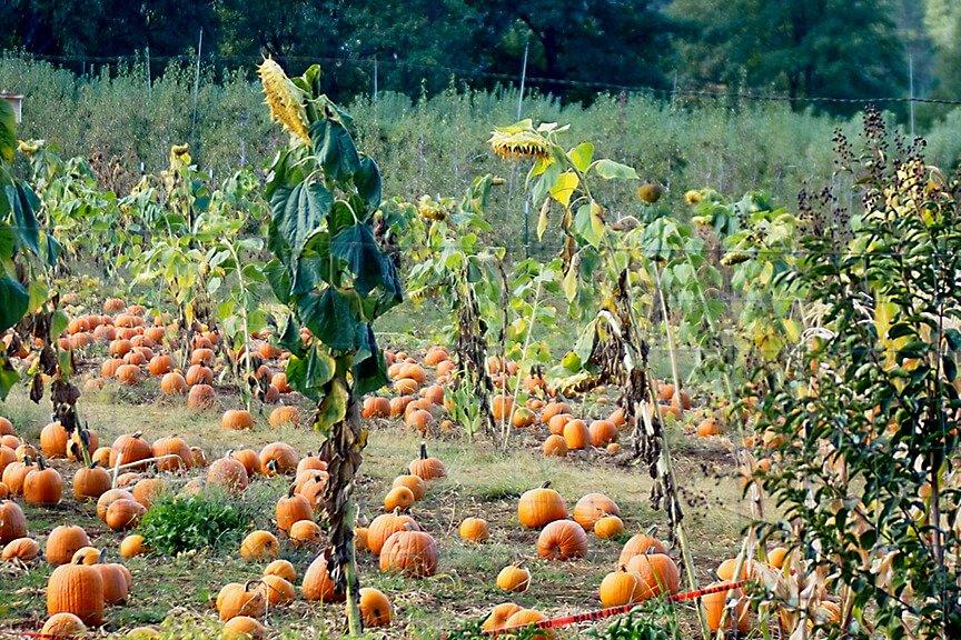 OHallorans_pumpkinpatch