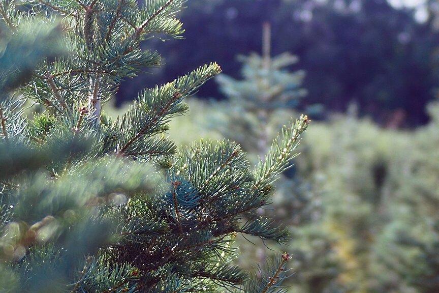 OHallorans_trees3